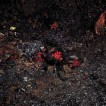 Pomegranates, 2005, LP, 40X50 cm. רימונים