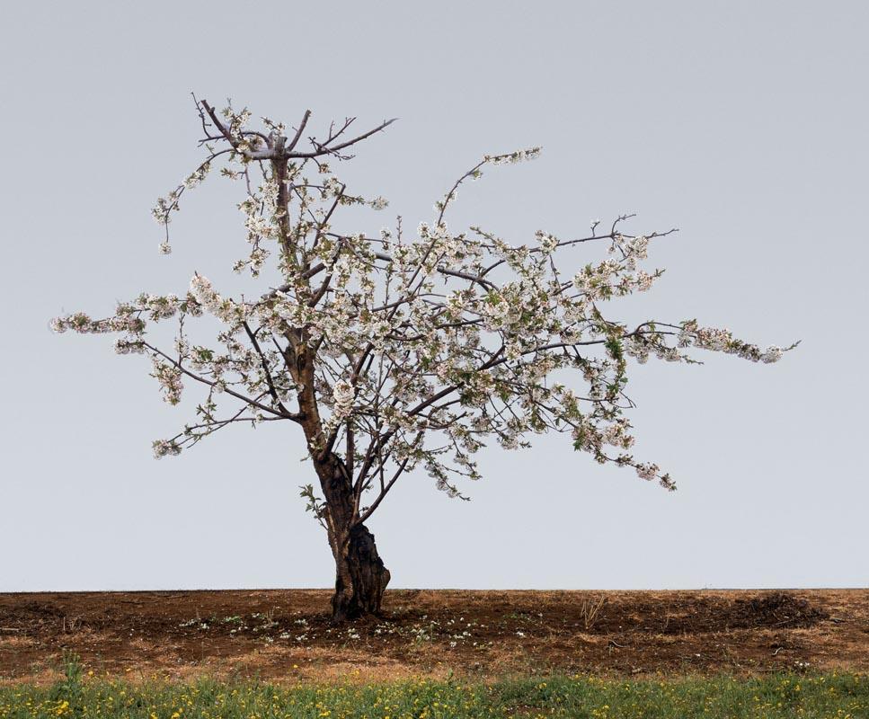 106Cherry Blossom_2008_color print_125x150 cm