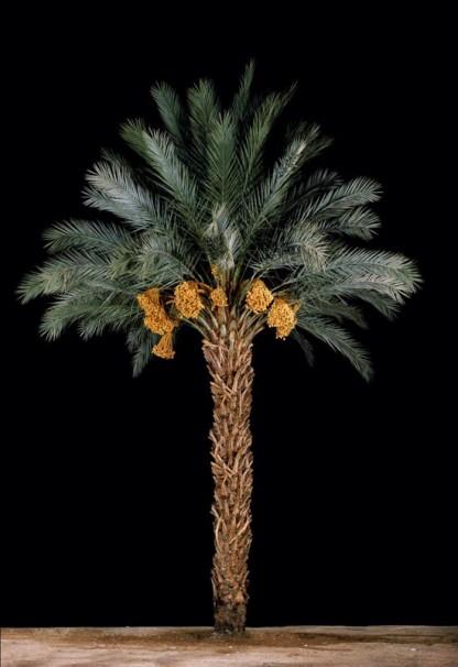 Tamar#1 (Date Palm), 2011, 152.5 x102 cm $9,000
