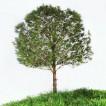 Untitled (pine tree), 2011, 120x100 cm, $7,900