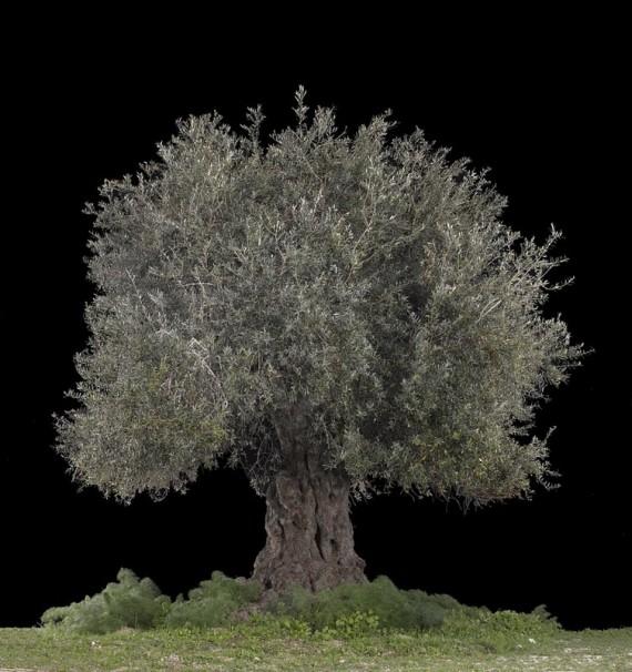 Tal Shochat_Olive (Beit Jimal)_2017_110x120 cm